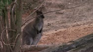 Wallaby Stands by Tree HD Video Stock Footage