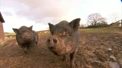 Big Pigs Sniffing Camera at farm Broll, HD Video Stock Footage