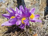 Pasque flowers close-up in natural environment Stock Photos