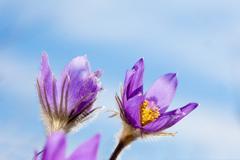 Pasque flower close-up against blue sky Stock Photos