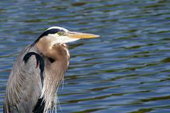 Great Blue Heron Looking for Fish Stock Photos