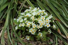 Flowering white primula (?rimula vulgaris) Stock Photos