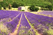 Stock Photo of lavender in the landscape