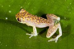rivero's treefrog (dendropsophus riveroi), ecuador - stock photo
