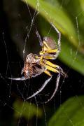 Amazonian orb-web spider eating a prey item at night, ecuador Stock Photos