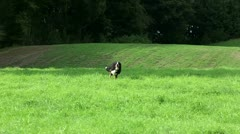 Bernese Mountain Dog running Stock Footage