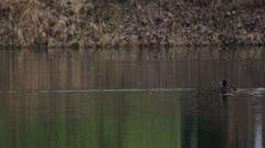 Goldeneye duck Stock Footage