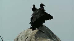 Black Vultures in Oaxaca Mexico 2 Stock Footage
