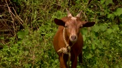 Goat looking into camera Stock Footage