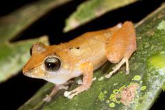 Rain frog (pristimantis ockendeni), ecuador. male in calling position on a le Stock Photos
