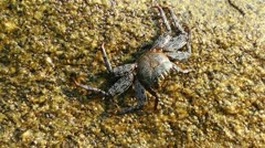 Crab in Rocky Ocean Shore 3 Stock Footage