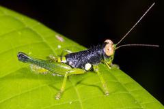 Colourful grasshopper on a leaf in the rainforest, ecuador Stock Photos