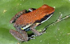 Ruby poison frog (ameerega parvula), ecuador Stock Photos
