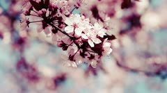 Pink cherry flowers blooming in springtime swining in the wind. Stock Footage