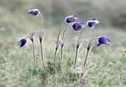 Stock Photo of pasque flowers