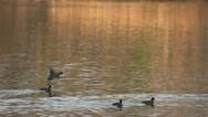 Duck goes over the water and lands on the river Stock Footage