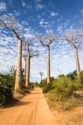 The baobab alley Stock Photos