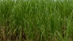Sugar Cane Crops Stock Footage