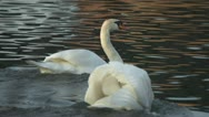 Male swan attackes female on the river Stock Footage