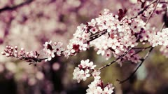 Pink cherry flowers blooming in springtime swining in the wind. - stock footage