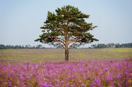 Old tree on pink field Stock Photos