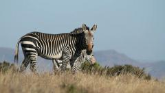 Cape Mountain Zebra, Mountain Zebra National Park, South Africa Stock Footage