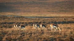 Grazing springbok antelopes Stock Footage