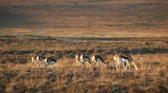 Grazing springbok antelopes Stock Footage