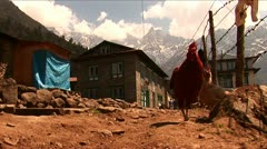 Roosters on trail in village along basecamp trek - stock footage