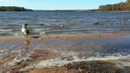 Ducks and a goose standing and swimming by the shore Stock Footage