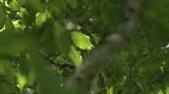 Beech leaves 2 - stock footage