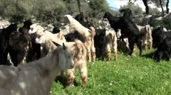 Herd of young goats in alarm Stock Footage