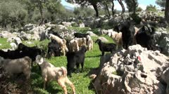 Herd of young goats Stock Footage