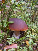 White mushroom (Boletus edulis) - stock photo