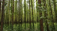 Eucalyptus forest Stock Footage