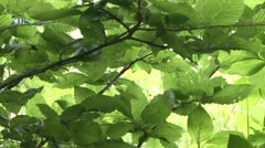 Beech leaves Stock Footage