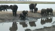 ELEPHANT HERD MUD BATH. Stock Footage
