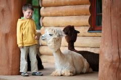 Cute little boy playing with a baby alpaca - stock photo
