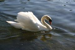 Swan In Pond - stock photo