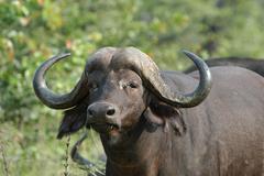 Photos of Africa African Buffalo - stock photo