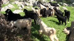 Herd of young goats 2 Stock Footage