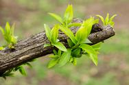 Stock Photo of earliest spring green leaves on old branches