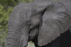 Photos of Africa, African Elephant - stock photo