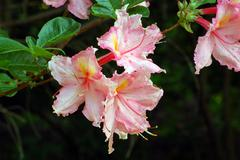 rododendron - stock photo