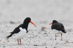 eurasian oystercatcher (haematopus ostralegus) - stock photo