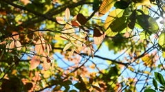Stock Video Footage of beautiful nature translucent leaf swaying on tree