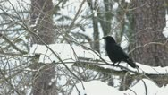 Stock Video Footage of Carrion crows (Corvus corone) on a snowy branch.