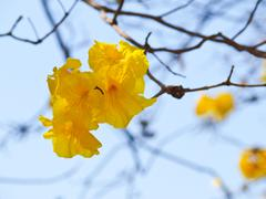 golden trumpet tree, chiang rai, thailand - stock photo
