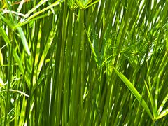 closeup of green leaf papyrus  as background - stock photo