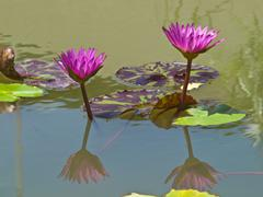 A pair of pink water lilly in a pond Stock Photos